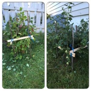 ripsbusk og stikkelsbærbusk