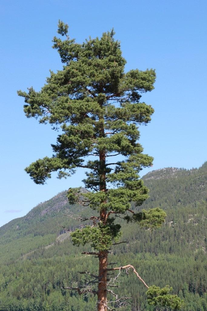 Vakre Norge har mange vakre trær, her en vakker Furu